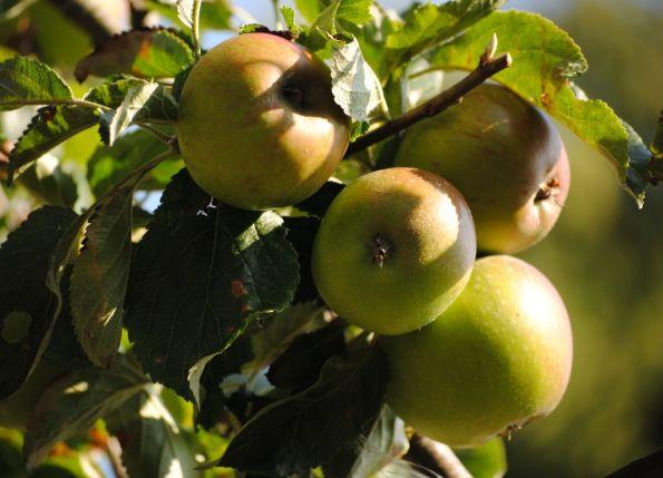 Four Apples in sun
