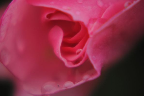Pink Rose blossom with rain drops using close up lens on zoom lens