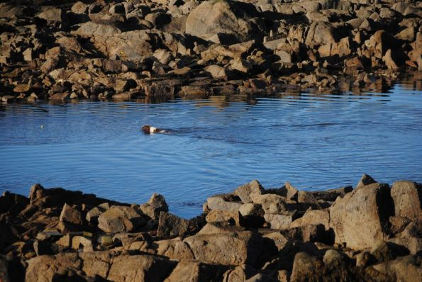 Dog swimming at low tide in Scotsman's bay between rock in morning sun