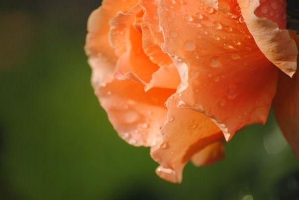 Orange Rose Blossom with raindrops
